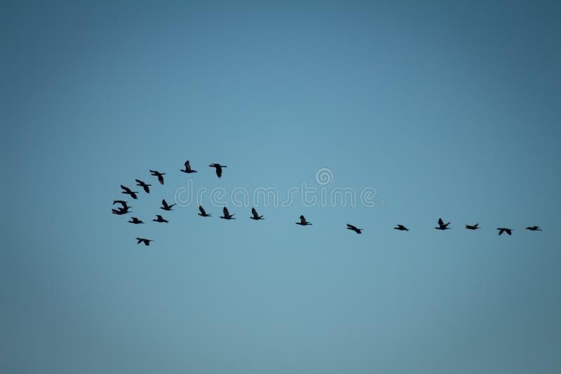 Patos selvagens numerosos no céu que forma um V imagem de stock royalty free