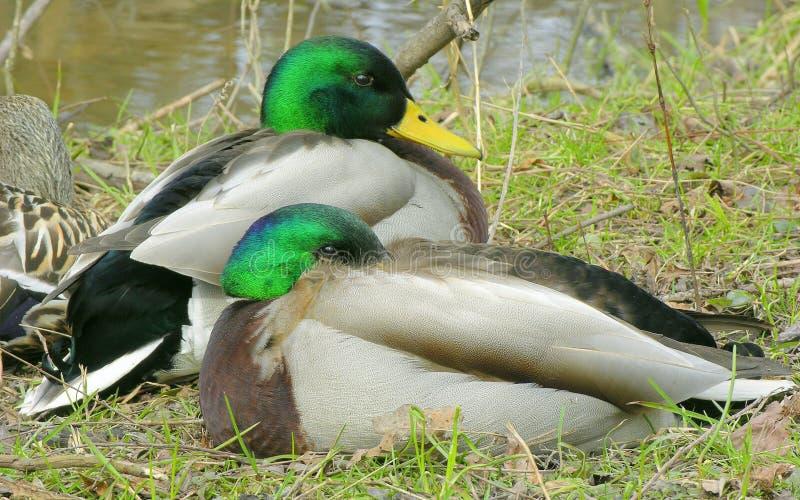 Patos Silvestres 1 Fotografía de archivo