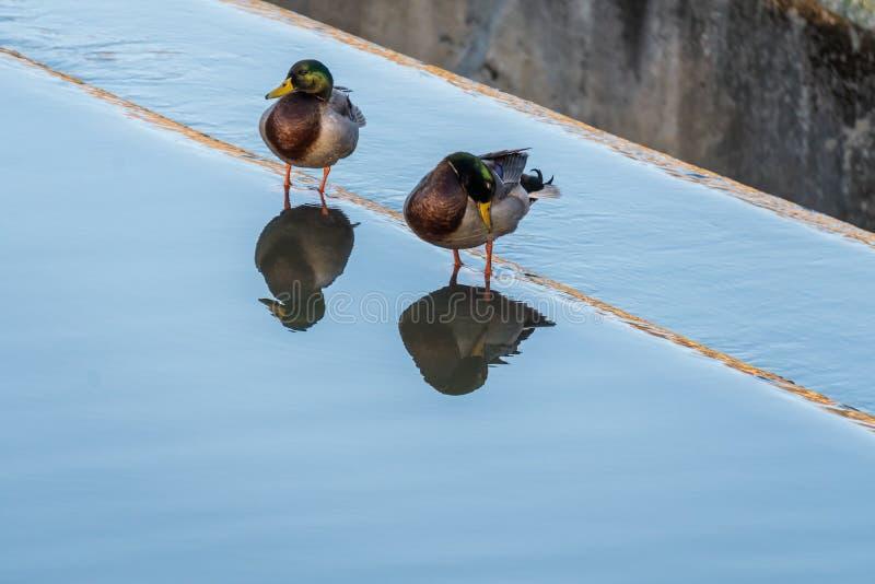 Patos silvestres reflejados en la presa foto de archivo
