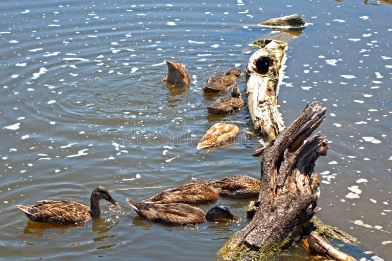 Patos silvestres, Szarvas, Hungría fotografía de archivo libre de regalías