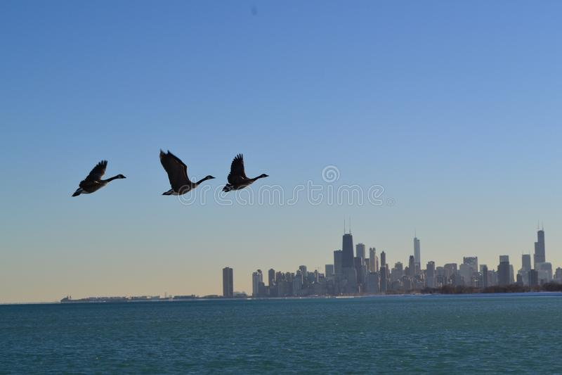 Patos sobre el horizonte de Chicago imagenes de archivo