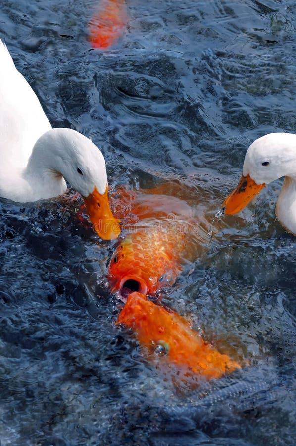 Patos y pescados de la reunión foto de archivo
