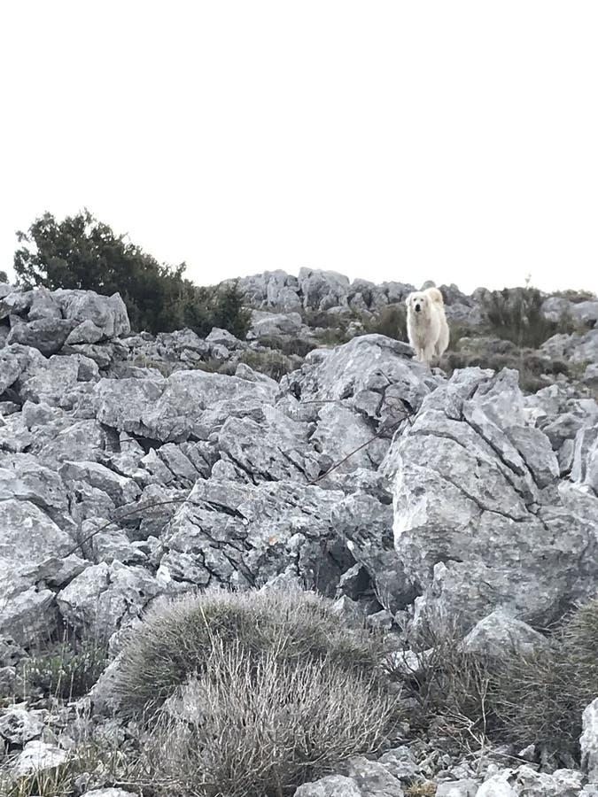 Patou hund Alpes royaltyfria foton