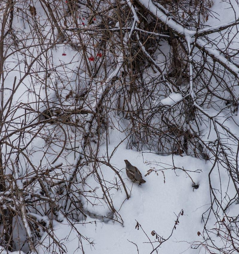 Patrijs in de sneeuw in de struiken in het bos dichtbij Belokurikha, Altai, Rusland stock afbeeldingen