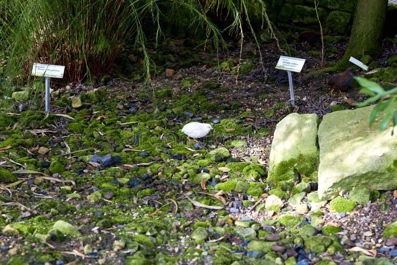 Patrijs die in de tuin leven Patrijzengang op het gras onder aard De kleine patrijsvogels maken een nest voor vogels Vogelslivi stock afbeeldingen