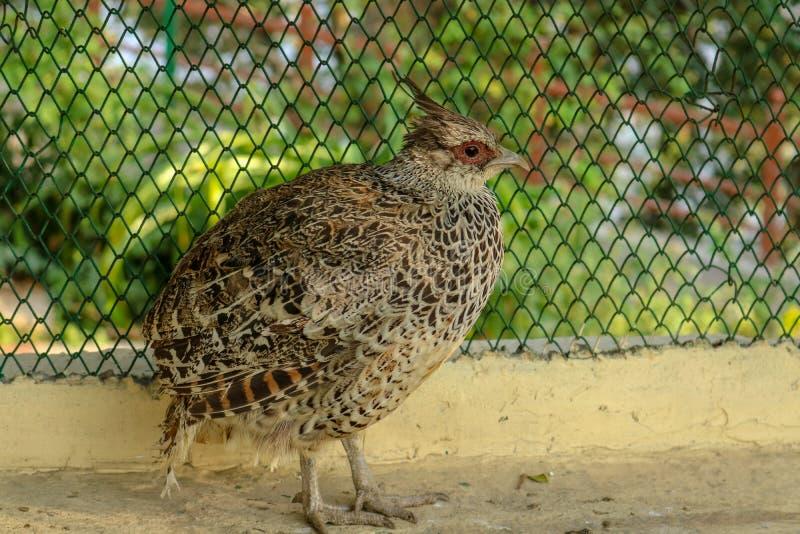 Patrijsvogel bij Himalayan-Vogelpark, Shimla, India royalty-vrije stock afbeeldingen