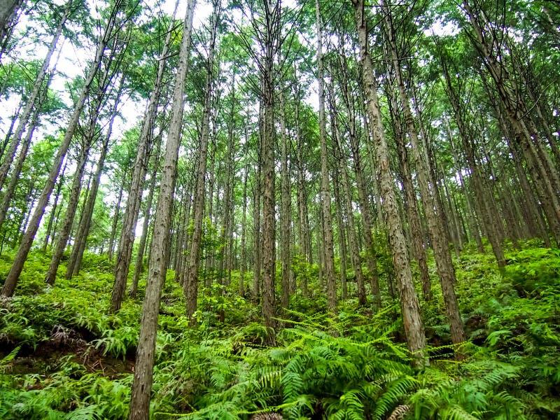 Patrimoine mondial Forest Kumano Kodo au Japon en mai images libres de droits