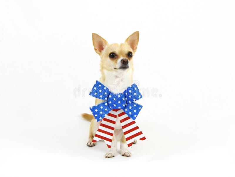 Patriotic Chihuahua Sitting stock photo