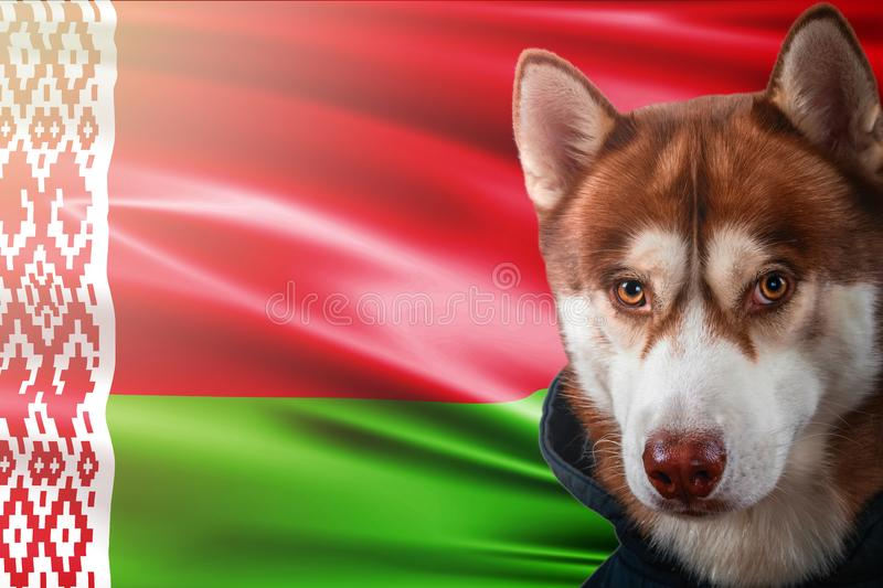 Patriotic dog proudly in front of the Belarus flag. Portrait siberian husky in sweatshirt in the rays of bright sun. stock photos