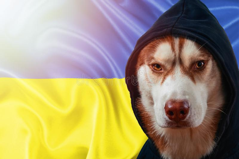 Patriotic dog proudly in front of the Ukraine flag. Portrait siberian husky in sweatshirt in the rays of bright sun. royalty free stock photos