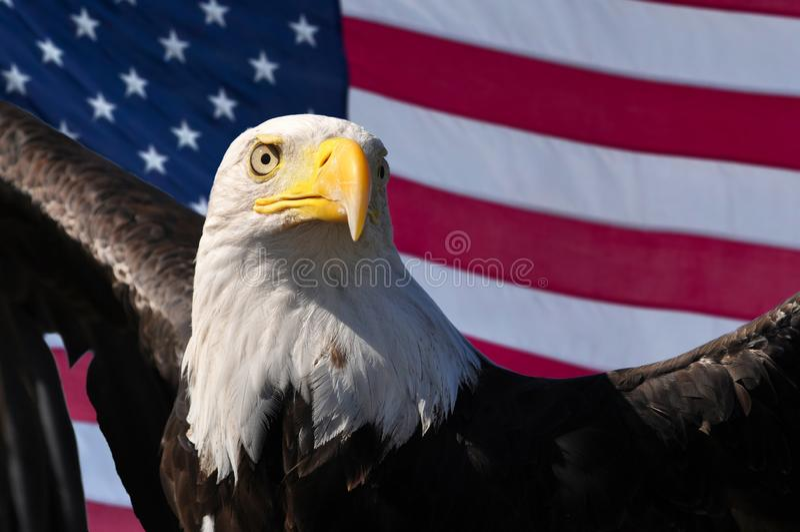 Patriotische Symbole des Weißkopfseeadlers und der amerikanischen Flagge von USA Amerika lizenzfreie stockfotos