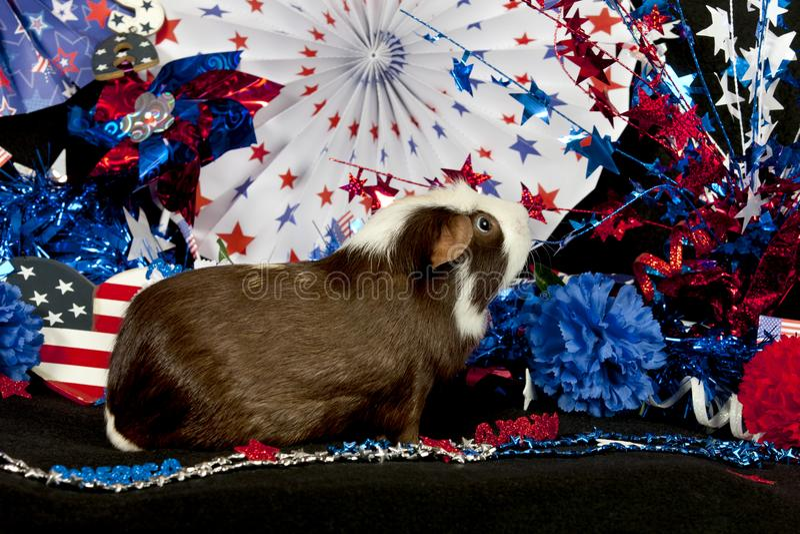 Patriotisches amerikanisches Meerschweinchen Cavia porcellus lizenzfreies stockbild