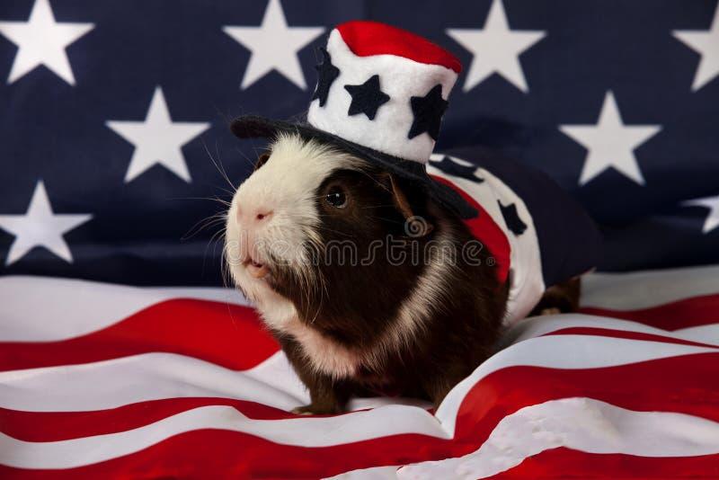 Patriotisches amerikanisches Meerschweinchen Cavia porcellus stockbilder