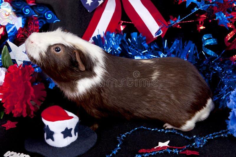 Patriotisches amerikanisches Meerschweinchen Cavia porcellus lizenzfreie stockbilder