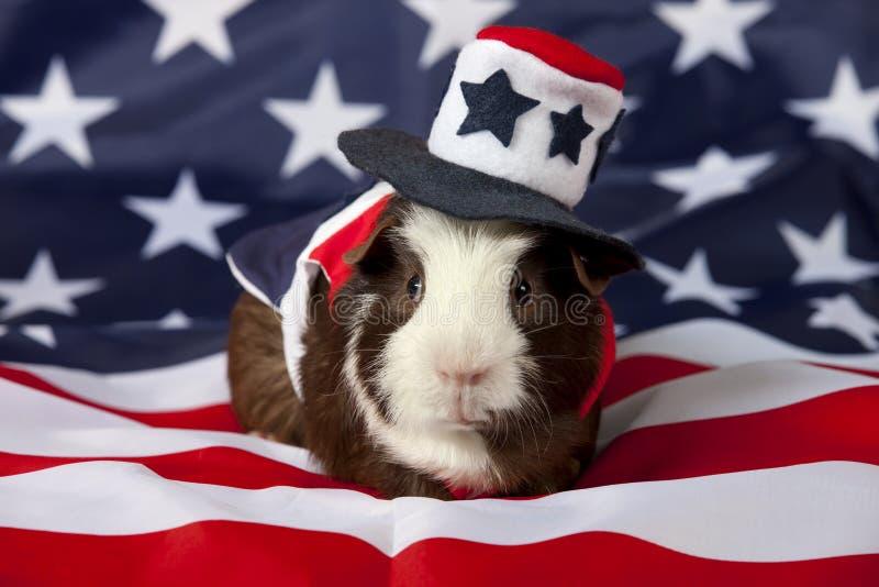 Patriotisches amerikanisches Meerschweinchen Cavia porcellus stockfotos
