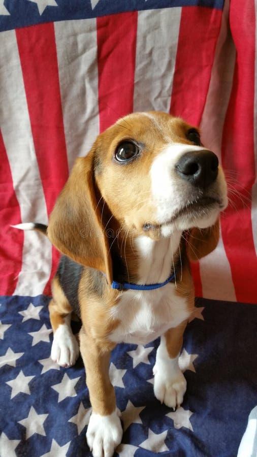 Patriotisk valp USA royaltyfri bild