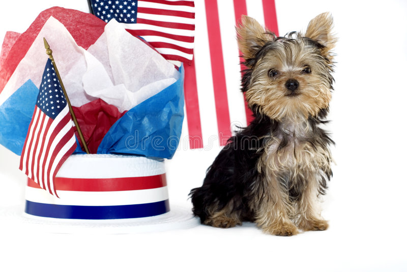 patriotisk valptemayorkie royaltyfri foto