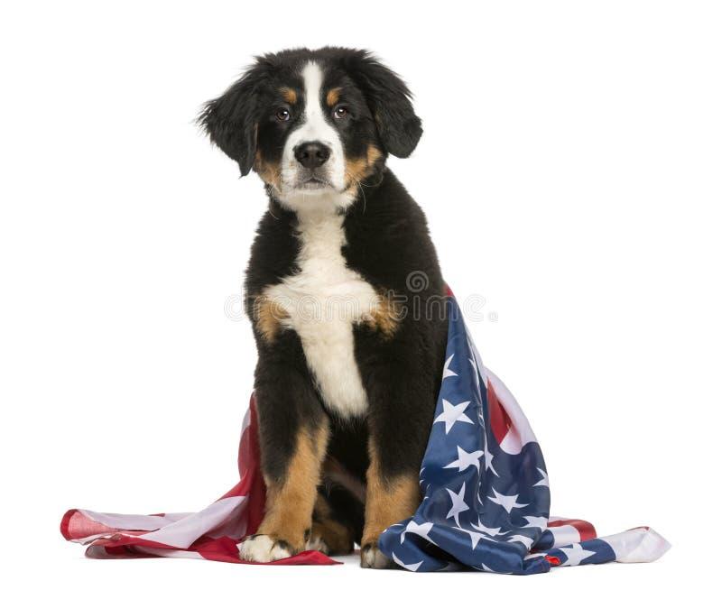 Patriotiskt hundsammanträde med amerikanska flaggan royaltyfria bilder