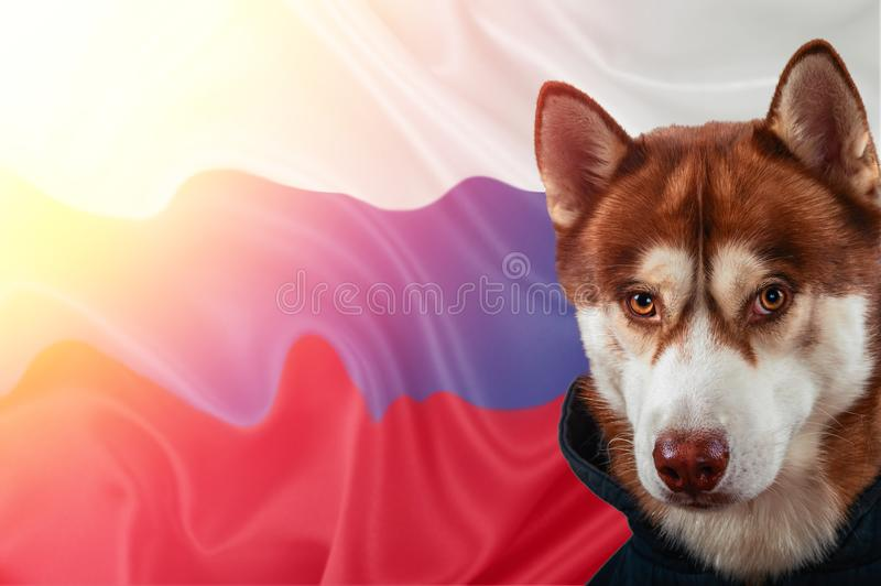 Patriottische hond trots voor de vlag van Rusland Portret Siberische schor in sweatshirt in de stralen van heldere zon royalty-vrije stock foto