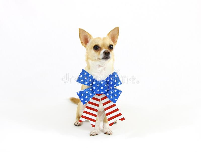 Patriotyczny chihuahua obsiadanie zdjęcie stock