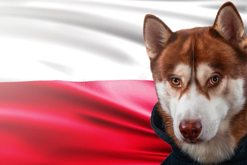 Patriotyczny pies dumnie przed Polska flaga Portreta siberian husky w bluzie sportowa w promieniach jaskrawy słońce obrazy stock