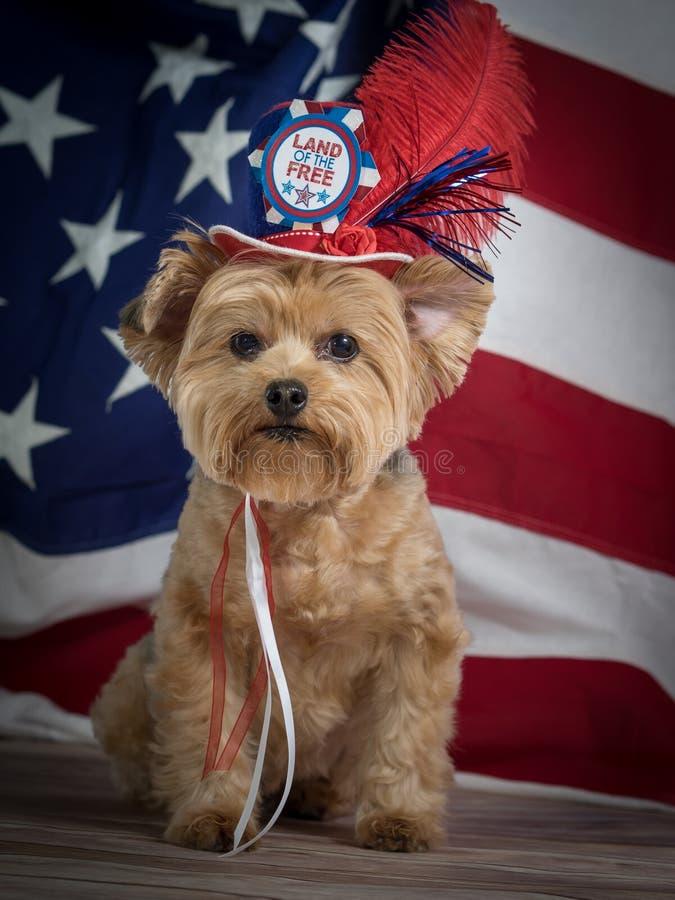 Patriotyczny Yorkie pies z kapeluszem i flaga tłem, czerwony błękitny i biały obraz royalty free