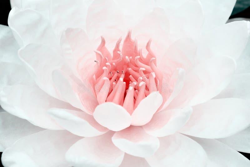 Patronenaard van witte bloemblaadjelotusbloem met roze stuifmeel die voor textuur of achtergrond bloeien stock foto