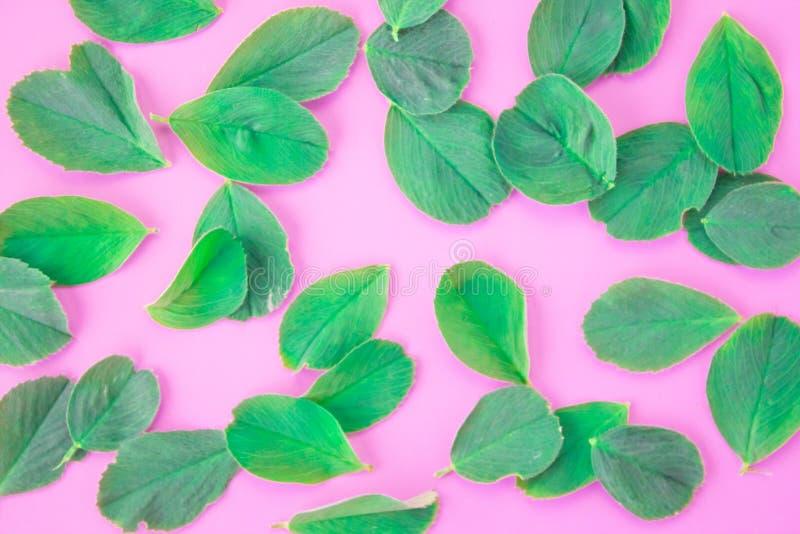 Patroon van de bladeren van de bloemblaadjesklaver op een roze achtergrond Natuurlijk behang Vlak leg, hoogste mening stock afbeeldingen