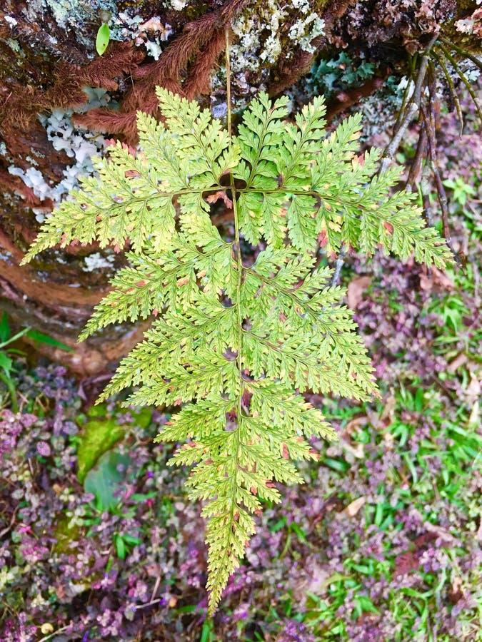 Patroon van pteridophytebladeren royalty-vrije stock foto