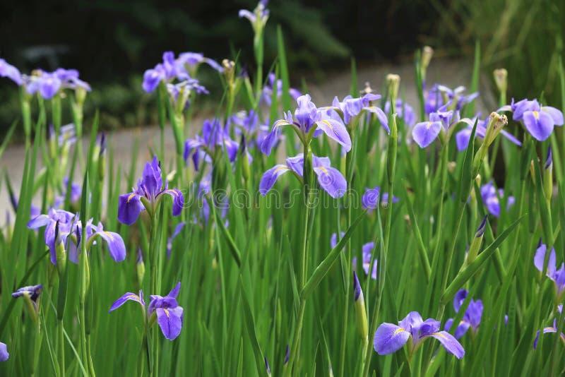 patroszony kwiatów ręki ilustraci irys obraz royalty free
