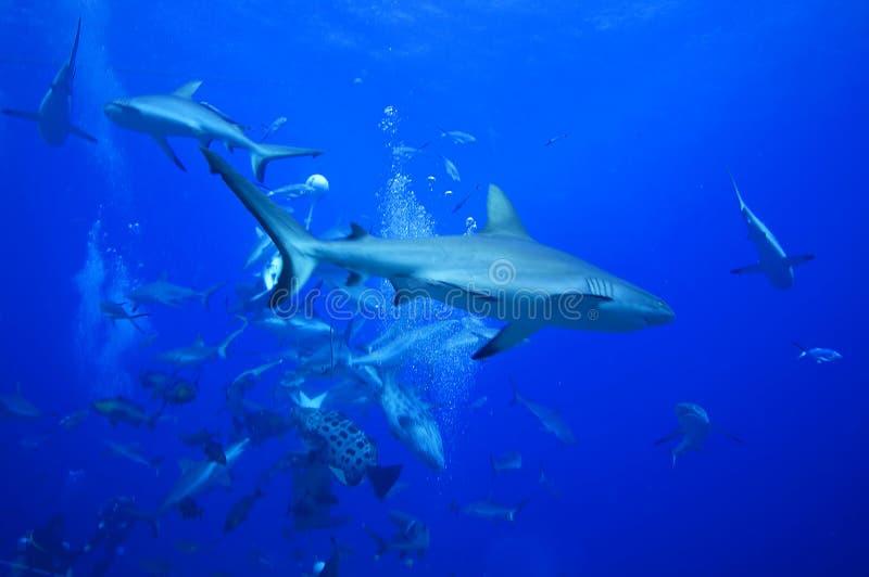 Patrouille grise de requins de récif photo libre de droits