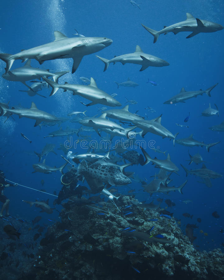 Patrulhamento cinzento dos tubarões do recife foto de stock