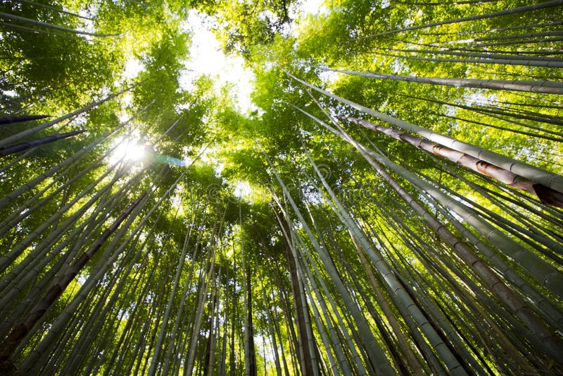 Patrzeć do nieba w bambusowym lesie obraz royalty free