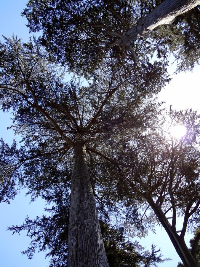 Patrzeć upwards przy wysokimi drzewami w lesie jako słońce błyszczy obrazy stock