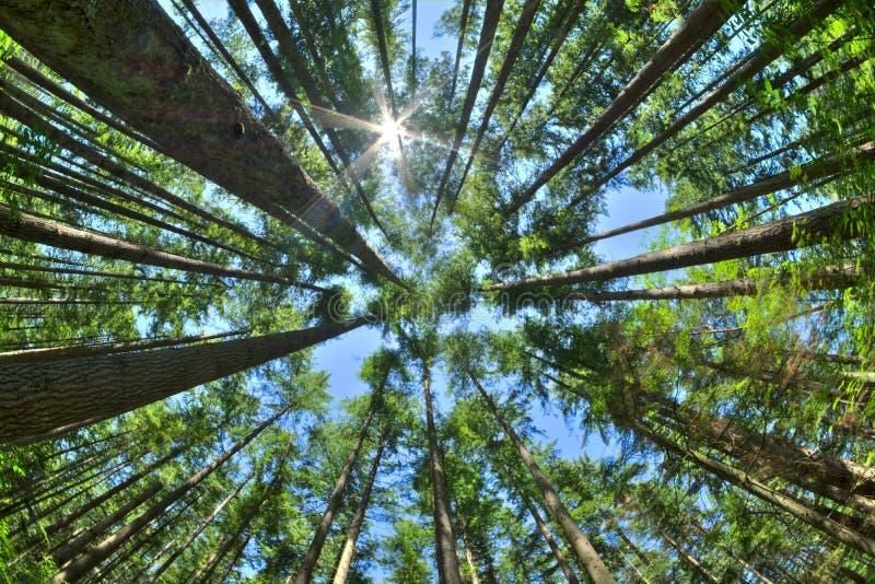 Patrzeje up w zwartym sosnowym lesie fotografia stock