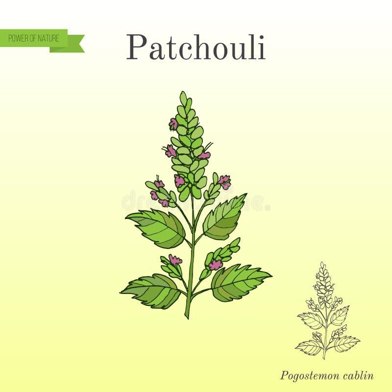 Patschulipflanze Pogostemon cablin, auch patchouly oder pachouli - aromatisch und Heilpflanze vektor abbildung