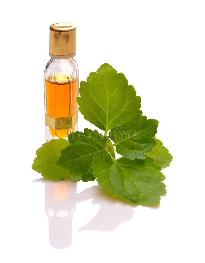 Patschulipflanzenzweig mit ätherischem Öl lizenzfreie stockfotografie