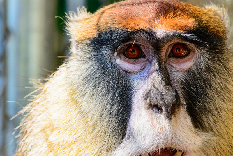Pattas małpy portret zdjęcie stock