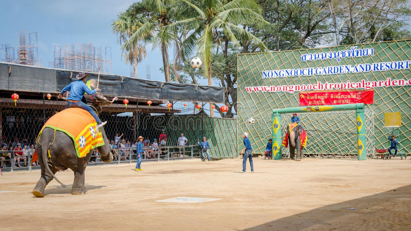 Pattaya, Thailand : Elephant playing football show. royalty free stock image