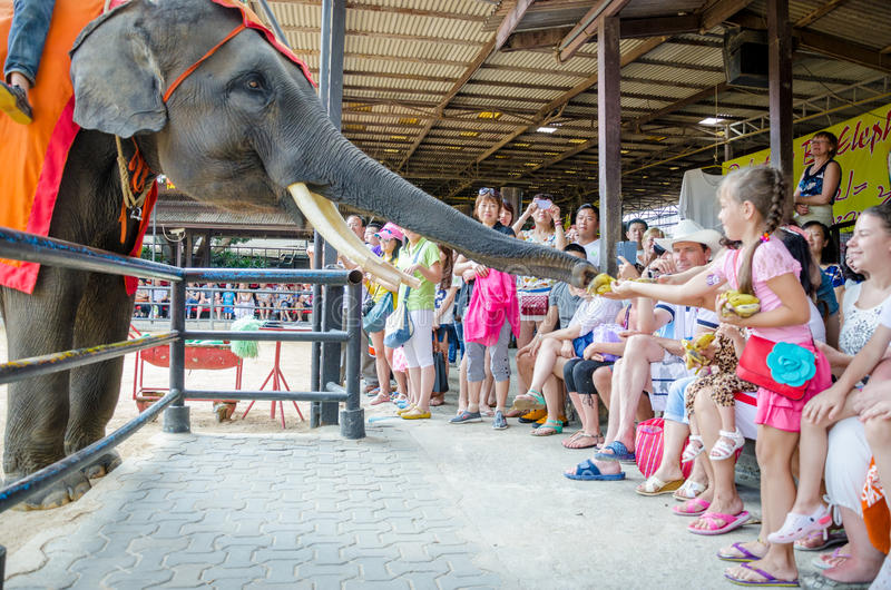 Pattaya, Thailand : Elephant show. Elephant show use their trunk pick food from a little girl. Pattaya, Thailand royalty free stock photo