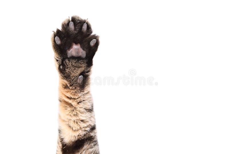 Patte avant d'un chat ?cossais directement photographie stock libre de droits