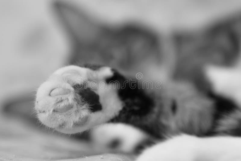 Patte d'un plan rapproché rayé gris de chat domestique photos libres de droits