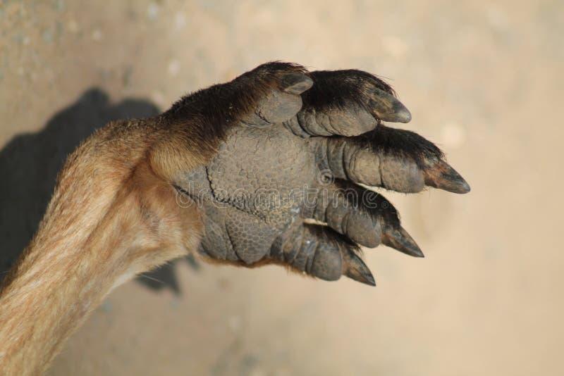 Patte de kangourou image libre de droits