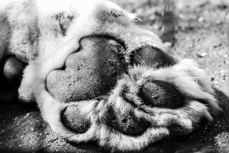 Patte de lions photo stock