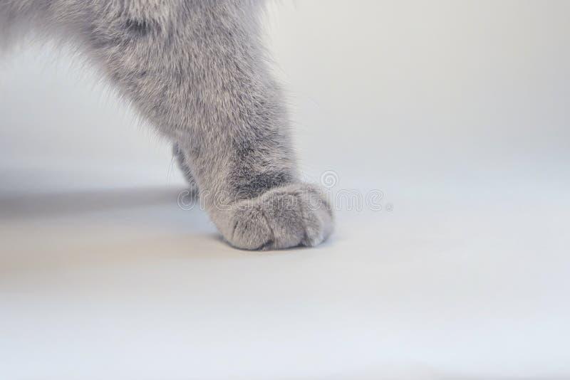 Patte grise du ` s de chat sur le panneau photo libre de droits