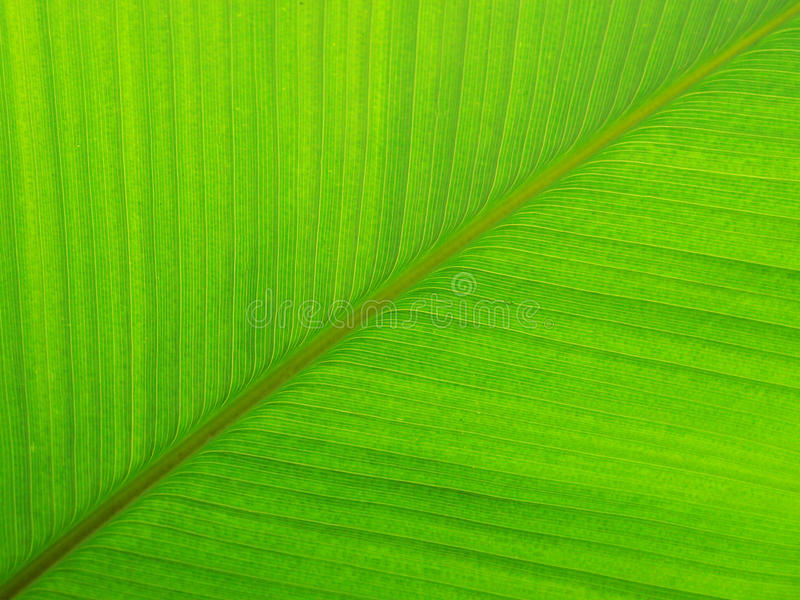 Pattens in Nature: Green leave symmetry. Green banana leave background,texture. Symmetrical veins in a palm leaf. Calm composition , and green lines. Taken in royalty free stock photos