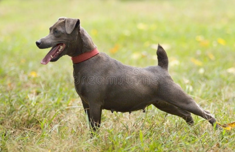 Patterdale Terrier Stock Image