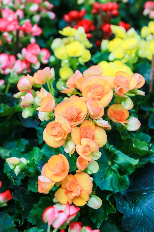 Pattern of beautiful natural begonia flowers stock photography