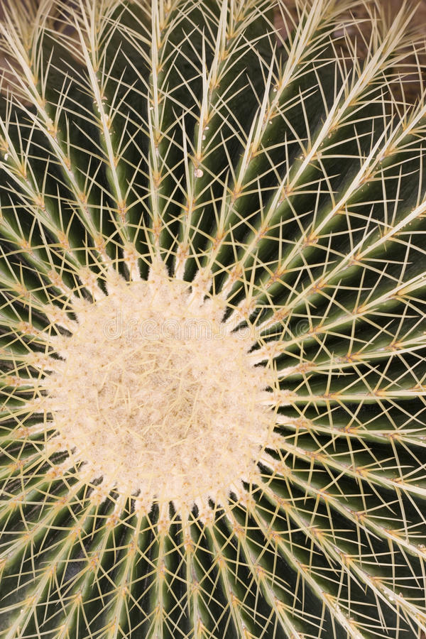 Pattern of cactus. Radial pattern of cactus thorns royalty free stock photo