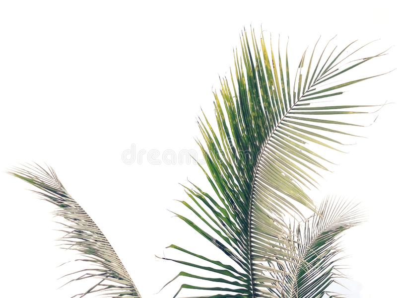 Coconut palm fronds isolated on white background. Pattern of coconut palm leaf, coconut fronds isolated on white background, natural of coconut leaf royalty free stock images